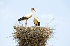 Paare Störche auf ihrem Nest Stockbilder