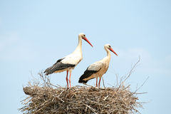 Paare Störche auf ihrem Nest Stockfoto