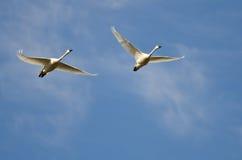 Paare Tundra-Schwäne, die in einen blauen Himmel fliegen Lizenzfreie Stockfotos