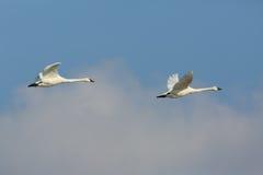 Paare Tundra-Schwäne im Flug Stockfotos