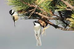 Paare Vögel auf einem Kiefer-Zweig Lizenzfreie Stockfotos