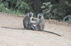 Paare vervet Affen, Königin Elizabeth National Park, Uganda lizenzfreies stockfoto