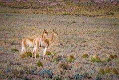Paare Vicunjas in Chile Lizenzfreies Stockfoto