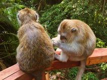 Paare von Affen im grünen Wald, romantisches Verhältnis der Tiere Lizenzfreie Stockfotos