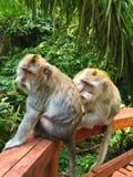 Paare von Affen im grünen Wald, romantisches Verhältnis der Tiere Lizenzfreies Stockbild
