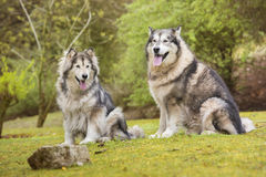 Paare von alaskischen Malamutes in einem Park Stockbilder