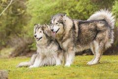 Paare von alaskischen Malamutes in einem Park Stockbild