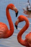 Paare von amerikanischen Flamingos lizenzfreie stockfotos