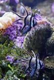 Paare von Banggai-Cardinalfish Stockfoto