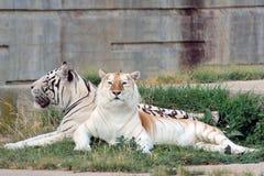 Paare von Bengal-Tigern Stockbild