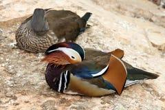 Paare von bunten Vögeln Stockfotografie