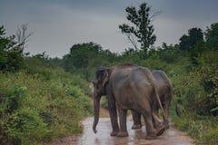Paare von den Elefanten, die auf die Straße im Nationalpark gehen Stockfotografie