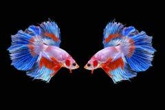 Paare von den Halbmond-Siamesischen Kampffischen lokalisiert auf schwarzem Hintergrund Lizenzfreies Stockfoto