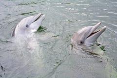 Paare von dolpins Stockfotografie