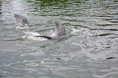 Paare von dolpins Stockfoto
