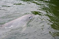 Paare von dolpins Stockbild