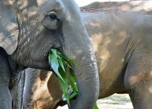 Paare von Elefanten, von Jungen und von Erwachsenem Lizenzfreies Stockfoto