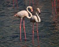 Paare von eleganten Flamingos mit weißem rosa Gefieder und verdünnen rosa Beine Lizenzfreie Stockfotografie