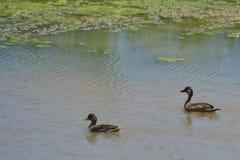 Paare von Enten Stockfoto