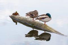 Paare von Enten und von Schildkröte auf dem Herbstfluß Lizenzfreies Stockbild