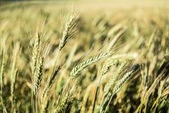 Paare von Getreide auf dem Gebiet, Sommerzeit Lizenzfreies Stockbild