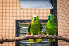 Paare von grünen Papageien stockbild