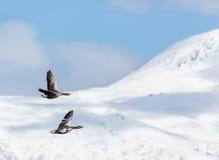 Paare von Greygoose im Flug Lizenzfreies Stockbild