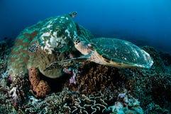 Paare von hawksbill Meeresschildkröte stillstehend auf Korallenriffen in Gili, Lombok, Nusa Tenggara Barat, Indonesien-Unterwasse Lizenzfreie Stockbilder