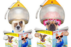 Paare von Hunden an den Friseuren Lizenzfreie Stockfotografie