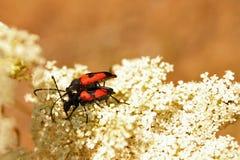 Paare von Insekten Stockbild
