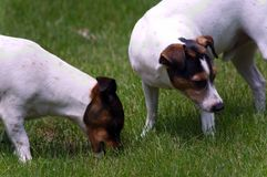 Paare von Jack Russell Terriers Stockfotos