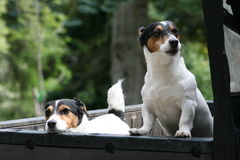 Paare von Jack Russell Terriers Stockfoto