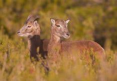 Paare von jungem Mouflon Lizenzfreie Stockfotografie