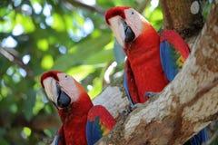 Paare von Keilschwanzsittichen auf einem Baum in Costa Rica Lizenzfreie Stockfotografie
