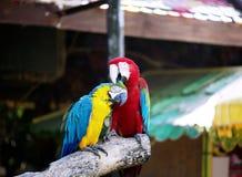 Paare von Keilschwanzsittichen in der Romanze Szene Lizenzfreie Stockbilder