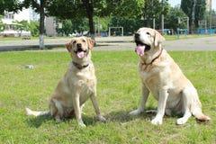 Paare von labradors Stockfoto