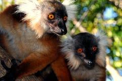 Paare von Lemuri Lizenzfreies Stockbild