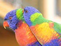 Paare von lorikeets Lizenzfreies Stockbild