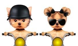 Paare von lustigen Hunden auf einem Motorrad Lizenzfreies Stockfoto