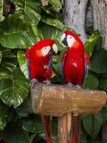 Paare von Macaws Stockfoto