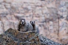 Paare von Murmeltieren in den Bergen Lizenzfreie Stockfotos