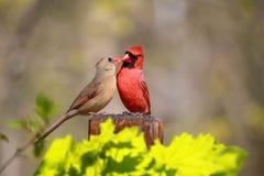 Paare von Nordkardinäle Cardinalis-cardinalis in der Liebe Lizenzfreie Stockbilder