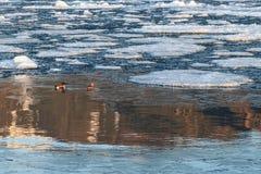 Paare von Nordlöffelenten unter Treibeis im Wasser mit gehen lizenzfreie stockfotos