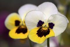 Paare von Pansy Flowers Lizenzfreie Stockfotografie