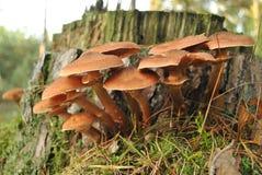 Paare von Pilzen auf totem Baum Stockbild