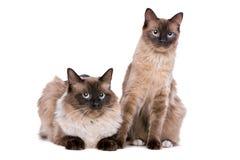 Paare von Ragdoll-Katzen Stockbild