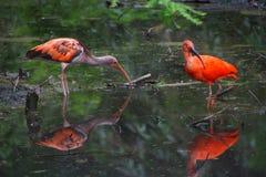 Paare von rotem IBIS im Fluss, der nach Lebensmittel sucht Stockfotos