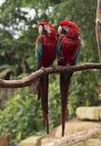 Paare von roten Papageien in der Liebe Lizenzfreie Stockbilder