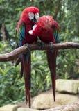 Paare von roten Papageien in der Liebe Lizenzfreie Stockfotos
