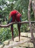 Paare von roten Papageien in der Liebe Lizenzfreies Stockfoto